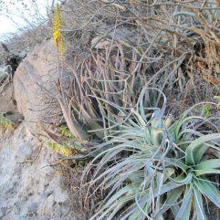 Les plants d'aloevera poussent très bien ici!
